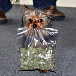 Veterinarian Administers Medical Marijuana To Dogs, Says It Works Wonders | The Weed Blog